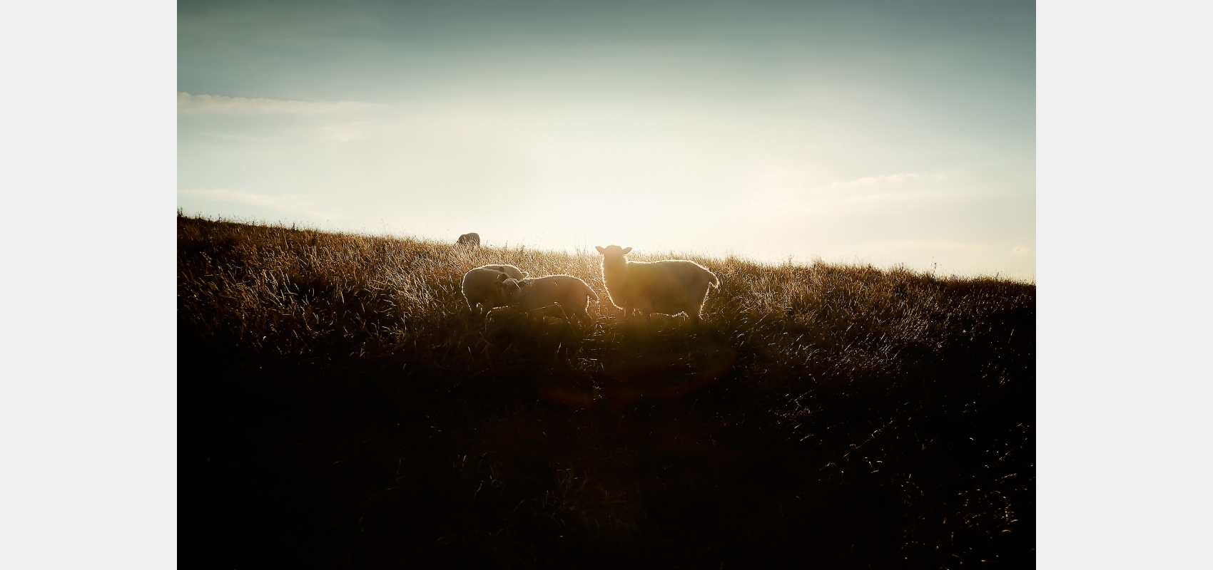 Location, landscape, sheep. lamps, silhouette, field, sunset